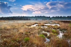 Bog and cotton grass