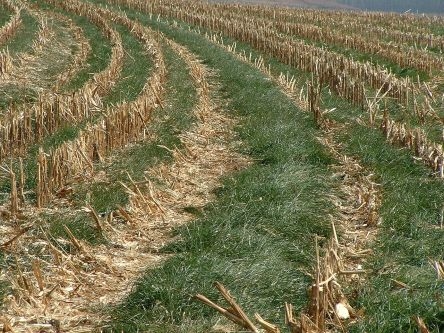1280px-2004_0609_Italian_ryegrass_cover_crop