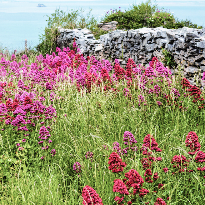 red-valerian-at-berry-head-pink-lo-res