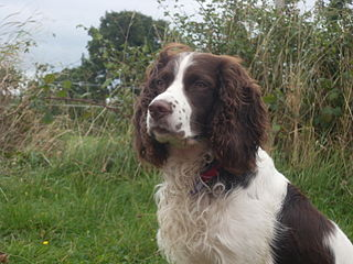 320px-male_english_springer_spaniel
