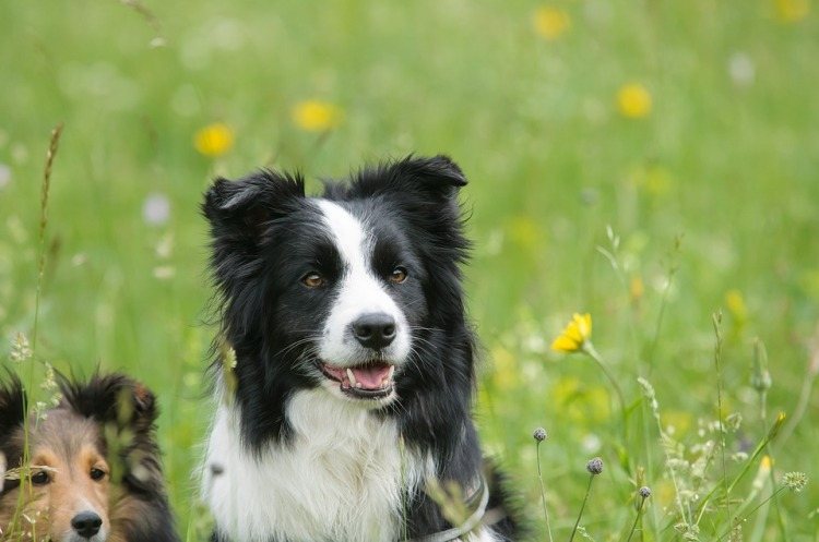 border-collie-1156819_960_720