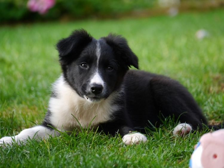 border-collie-1167898_960_720