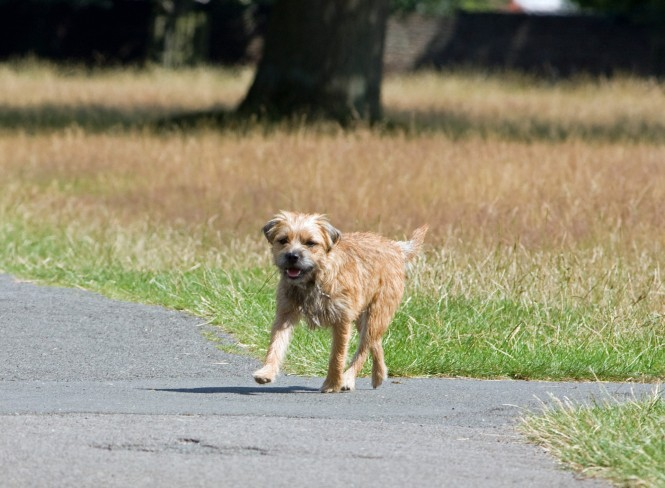 dog-border-terrier