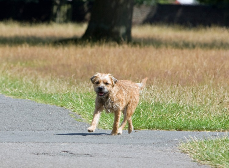 dog-border-terrier