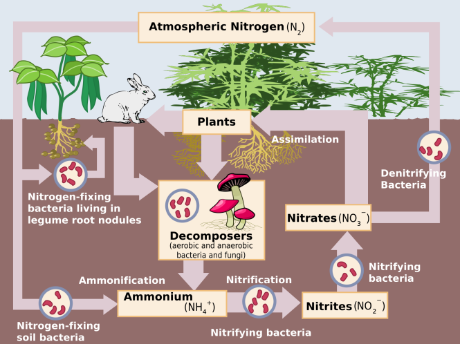 2000px-nitrogen_cycle-svg