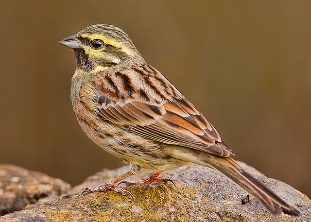 640px-cirl_bunting_cropped