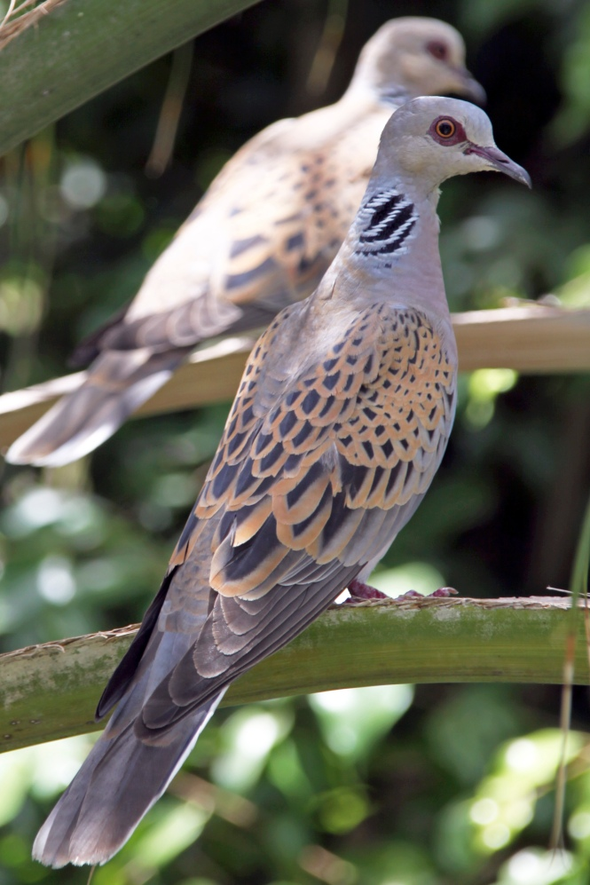 european_turtle_dove_streptopelia_turtur