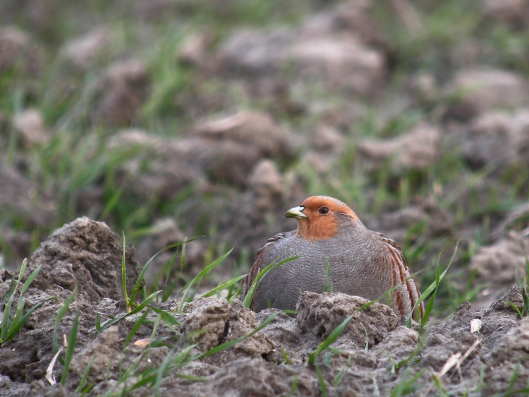 grey_partridge_renesse_netherlands