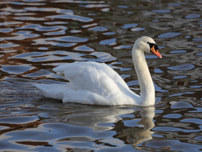 mute_swan_emsworth2