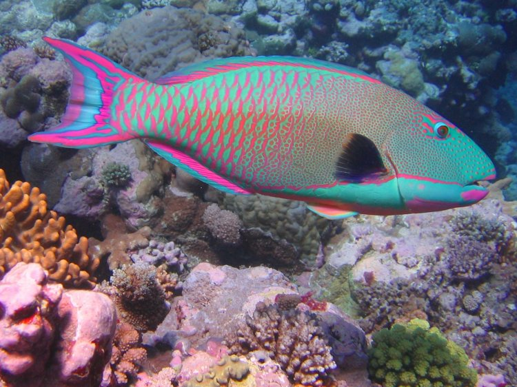 bicolor_parrotfish