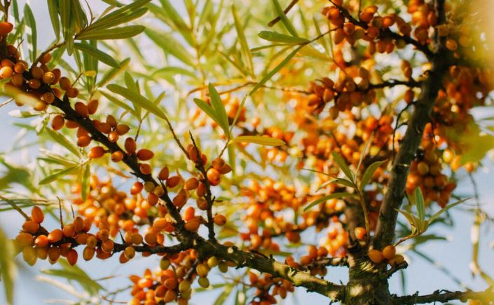 Sea buckthorn thinkingcountry - Growing sea buckthorn ...